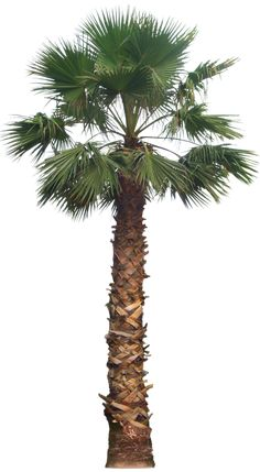 20 Free Tree PNG Images - washingtoniafil02L