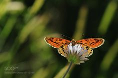 Butterfly by NecdetYasar. @go4fotos