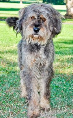 Ollie is a 7 year old male Irish Wolfhound mix. He was found in Sunnyside by Animal Control on 9/16 and is currently available for adoption. Ollie is a friendly guy who loves to go outside for walks. He is such a handsome guy with a tail that never...