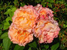 Hjertetunet: Roser i hagen nå Cabbage, Rose, Flowers, Plants, Pink, Roses, Florals, Cabbages, Plant