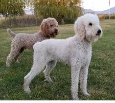 The best breed! Standard poodles shipped to you! From a reputable, licensed & legal breeder! We stand behind our pups, every pup comes with health guarantees, lifetime support & more! Giant Schnauzer, Standard Poodles, Puppies For Sale, Homestead, Raising, Teddy Bear, Health, Pictures, Animals