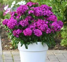 Check out the deal on Dianthus Jolt Purple 10 seeds at Hazzard's Home Gardener Green Leaves, Seeds, Landscape, Purple, Flowers, Plants, Check, Scenery, Plant