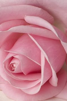 the soft petals of a rose