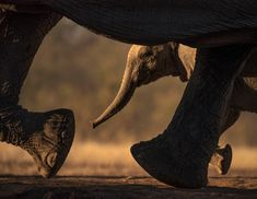 Photographer gets stunning pictures of herd of elephants - by climbing INTO their watering hole - Mirror Online World Elephant Day, Elephant Walk, Asian Elephant, Elephants Playing, Herd Of Elephants, Photography Gallery, Wildlife Photography, Sheldrick Wildlife Trust, Animales