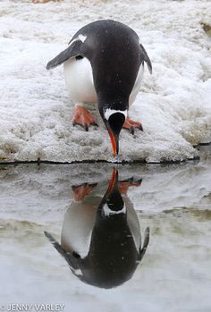 """Gentoo penguin admiring himself"" by Jenny Varley on flickr"