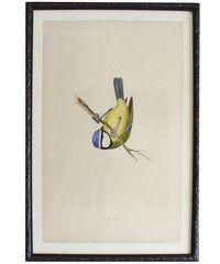 Framed English Blue Bird, 19th Century Print