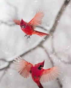cardinals in snow via Lisa Bonchek Adams on Twitter
