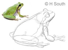 Frog Discover Draw a Cool Girl Cartoon With These Easy Steps Draw a Cute Tree Frog: Tree Frog - add detail Cartoon Sketches, Animal Sketches, Animal Drawings, Drawing Animals, Frog Drawing, Drawing Faces, Frog Illustration, Realistic Eye Drawing, Cute Cartoon Girl