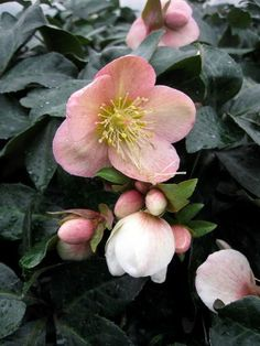 Hellebores x ballardiae 'Maestro'. Dusky rose buds open to blush-pink flowers on red stems. Forms a nice compact clump with a height of 16 inches, and a spread of 20 inches. 'Maestro' blooms from February to April.: