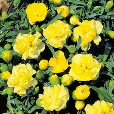Dianthus caryophyllus Plant - Yellow