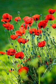 thepaintedbench:  Orange Poppies