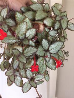 Rare Plants, Potted Plants, Indoor Plants, Spring Flower Arrangements, Spring Flowers, Camelia Rosa, Nerve Plant, Inside Plants, Star Of Bethlehem