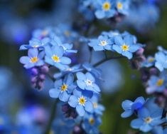 Forget Me Not Seeds Flower Myosotis Sylvatica Perennial Plant Self Seeding Wildflower Flower E Blue Flowers, Wild Flowers, Fresh Flowers, Spring Flowers, Forget Me Not Seeds, Don't Forget, Best Flower Pictures, Flower Photos, Seed Bombs