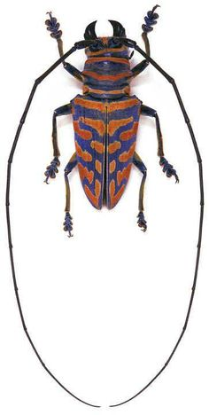 Sternoto Beetle                                                                                                                                                                                 Plus