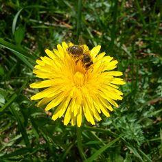 Euglosino o mas conocido como Abeja de Orquídea (Ophrys Lutea) en nuestro a camino a la cima de Josefstal  #bee #orquidea #green #nature #rocks #hiking #bavarianmountians #ophryslutea #euglosino #aroma #animal #bayern #europe2016 #deutschland #sun #sunnyweekend by esplendorescom