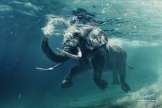 African elephant in ocean with sunrays and ripples at water surface. My other photos with underwater models and animals: &. An African Elephant Underwater Underwater Photos, Underwater Photography, Wildlife Photography, Animal Photography, Elephant Photography, Underwater Swimming, Elephant Man, Elephant Print, Elephant Stuff