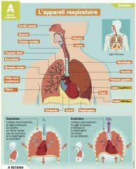 L'appareil respiratoire - Mon Quotidien, le seul site d'information quotidienne pour les 10-14 ans !