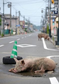 Yasusuke Ota, Namie-machi. On one hot July day, pigs that escaped from a pig barn were trying to cool themselves down in a small pool of water.