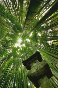 "nostalgia-gallery: ""  Bamboo forest in Sagano,Arashiyama / Kyoto,JAPAN """
