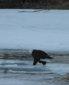 This Bald Eagle reminds me of a private detective, in a trench coat, hands in pockets, trudging along with purpose :) - Whitehorse Birders pic Yukon Territory, Pet Birds, Bald Eagle, Detective, Trench, Purpose, Wildlife, Hands, Pockets