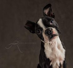 Another portrait of Roxy! Such a cutie pie! #allentown #lehighvalley #bostonterrier #lehighvalleyphotographer #petportrait
