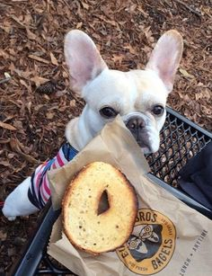 """Dat is my Bagel"", Sneaky French Bulldog Puppy❤"