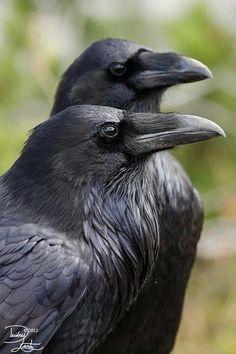 """spookyloop: """" Raven duo by DeeOtter """" Pinstriping, Beautiful Creatures, Fotografia Pb, Elf Rogue, Half Elf, Quoth The Raven, Raven Queen, Raven Art, Crows Ravens"""
