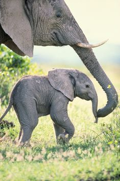 African Elephant Cow and Calf, Amboseli National Park, Kenya Art Wolfe Stock Photography . Photo Elephant, Elephant Love, Small Elephant, Baby Elephant Pictures, Elephant Pics, Geometric Elephant, Mom And Baby Elephant, Mandala Elephant, Happy Elephant