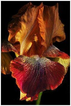 Via flicker Easter Iris by Bill Gracey Iris Flowers, Exotic Flowers, Amazing Flowers, Planting Flowers, Beautiful Flowers, Iris Garden, Garden Plants, Irises, Bearded Iris