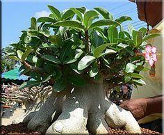 Адениум сокотранский (Adenium socotranum)