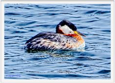 Red-necked Grebe Breeding Adult Irondequoit Bay Outlet 15-03-13