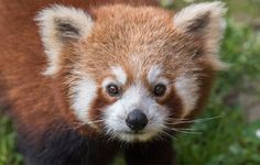 Roter Panda - Dunkle Knopfaugen, feuchtes Näschen auf weißem Grund, roter Puschelschwanz: Der Rote Panda (Ailurus fulgens), gehört zu den charismatischsten, knuffigsten Tieren überhaupt. Doch der Feuerfuchs ist selten geworden, Lebensraumzerstörung, streunende Hunde und Wilderei setzen ihm zu. Es gibt nur noch unter 10.000 Tiere, die weit verstreut in den Ländern des Himalaya-Bogens leben.   Die Projekte des WWF versuchen Wilderei und Abholzung unter Kontrolle zu bringen, um den Roten Panda…