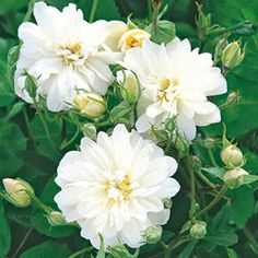 タキイネット通販/花の苗、花木、球根/花木/ばら/バラ・スノーグース