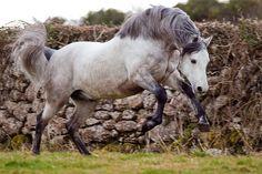 Le Connemara - Un Connemara qui fait un bond Connemara Pony, Connemara Ireland, Rare Horse Breeds, Barrel Racing Horses, Majestic Horse, Most Beautiful Animals, Horse Saddles, Horse Halters, White Horses
