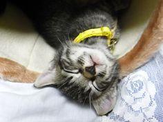 kitten Myu - http://nyagomidokoro.net/