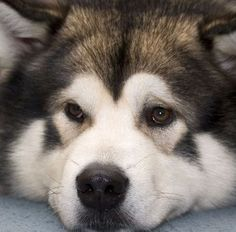 Wonderful All About The Siberian Husky Ideas. Prodigious All About The Siberian Husky Ideas. Cachorros Del Alaskan Malamute, Alaskan Malamute Puppies, Malamute Husky, Alaskan Husky, Husky Dog, Shiba Inu, Akita, Most Beautiful Dogs, Snow Dogs