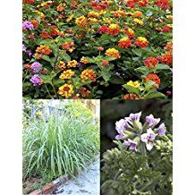 """Mosquito Trio - 9 Mosquito Repellent Plants – Includes THREE Varieties: 3 Citronella Geranium Plants, 3 Lemongrass Plants, 3 Lantana Plants, Each 4""""– 8"""" Tall in Individual 4"""" Pots - Citronella plants have lush green leaves, Lemongrass has beautiful grassy green spikes, and Lantana is a colorful blooming plant; together, they keep an area up to 10 square feet virtually mosquito free."""