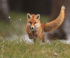 beautiful-wildlife:  FoxbyHelena Kuchynková   Sund(yaaaaaaay)