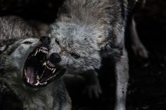 Two wolves fighting Wolves Fighting, Image Maker, Cotswold Wildlife Park, Arte Viking, Half Elf, Wolf Hybrid, Red Rising, Two Wolves, She Wolf
