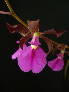 Orchid: Encyclia cordigera var rosea - Flickr - Photo Sharing!