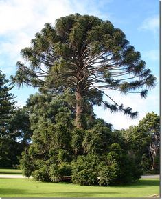 Of all the striking aspects of the subtropical regions of Australia's east coast, the landforms, the climate, the exotic fauna... few offer as immediately impressive a sight as a fully mature Bunya pine.