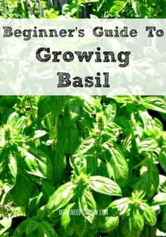 A Beginner's Guide To Growing Basil Moms Need To Know ™ is part of Growing basil - Have fresh basil growing in your garden all spring and summer and you will save a ton of money Here are some tips for a great crop of basil!