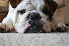 English Bulldog ~ let sleeping dogs lie