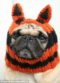 Oh dear I love pugs but not sure on the hats !!!'    Pug fashion: This pug is dressed in a tiger hat