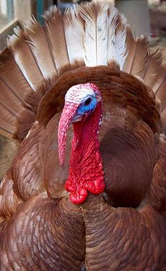 Gobble This: 8 Amazing Heritage Turkey Breeds