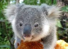 Hello whats going on? Take a picture of me And my family koalas and then let's play....!