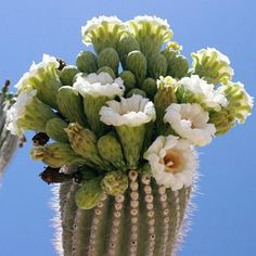 Carnegiea gigantea - Saguaro, Sahuaro - Southeastern Arizona Wildflowers and Plants Cactus Blossoms, Cactus Flower, Flower Pots, Desert Flowers, Desert Cactus, Desert Plants, Cactus Seeds, Cactus Plants, Cacti
