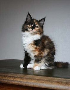 Calico Maine Coon kitten http://www.mainecoonguide.com/where-to-find-maine-coon-kittens-for-sale/