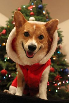 jersey schenk christmas corgi extraordinaire - Christmas Corgi