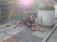 I Love Rottweilers Like a boss! .jpg (800×600)